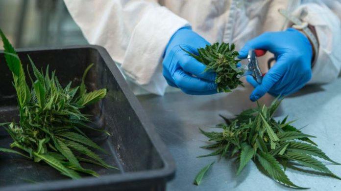 Medyczna marihuana – wykład